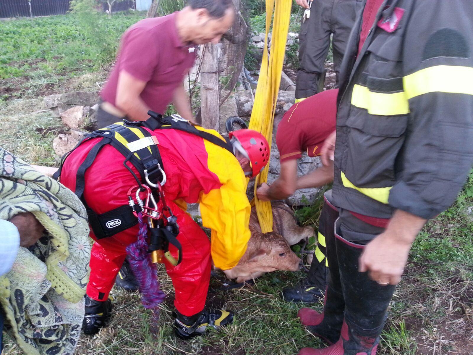 Vitellino cade in un pozzo, salvato dai pompieri
