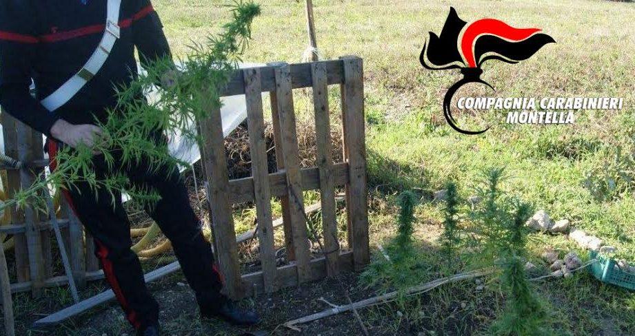 Castelfranci| Piantagione di droga nella serra, arrestato un 32enne