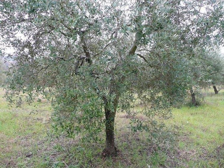 Nuova ondata di maltempo, a rischio gli ulivi in Campania