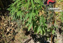 "Baiano| Sorpresi a coltivare marijuana: denunciati due uomini dal ""pollice verde"""