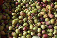 Sant'Agata de' Goti| Cia e Aos incontrano gli olivicoltori sanniti