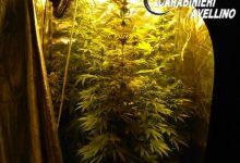 Calitri  Marijuana coltivata in un ripostiglio, nei guai un 20enne
