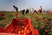 """Pomodori, al via il primo raccolto """"etichettato"""""""
