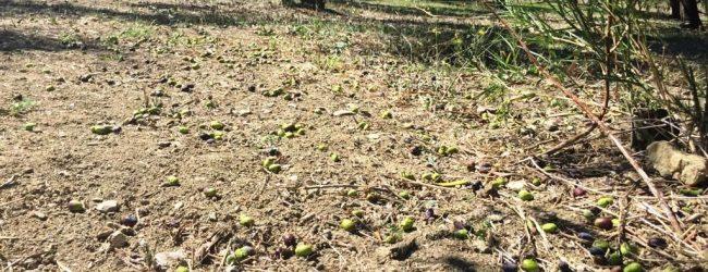 Olive, Coldiretti: in Campania annata difficile per freddo e vento
