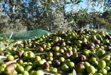 """Raccolta olive,""""cattiva annata"""" in Campania.Coldiretti: perdita del 30%"""