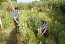 Circello| A Baselice ritrovate piante di papavero da oppio