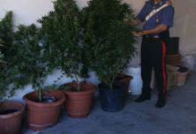 Pontelandolfo  Carabinieri denunciano madre e figlio per coltivazione illecita di cannabis