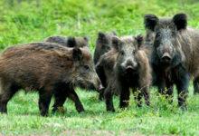 Cinghiali: Coldiretti Campania, svolta con filiera carne. Al via primo progetto nel Matese
