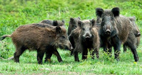 Cinghiali, Coldiretti chiede attivazione della caccia di selezione anche in Campania