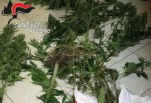 Mirabella Eclano| Coltivava marijuana nella sua abitazione, 60enne ai domiciliari