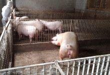 Apice  Controlli dei Carabinieri Forestali sugli allevamenti di animale da reddito