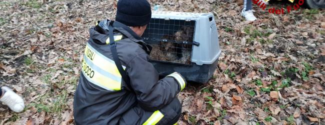 Caposele| Salvati dai vigili del fuoco e adottati da una signora, storia a lieto fine per due cuccioli di Lagotto