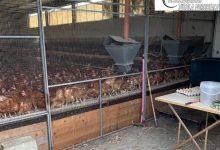 Sant'Agata de' Goti| Focolaio di salmonella  in un'azienda avicola: abbattute oltre mille galline
