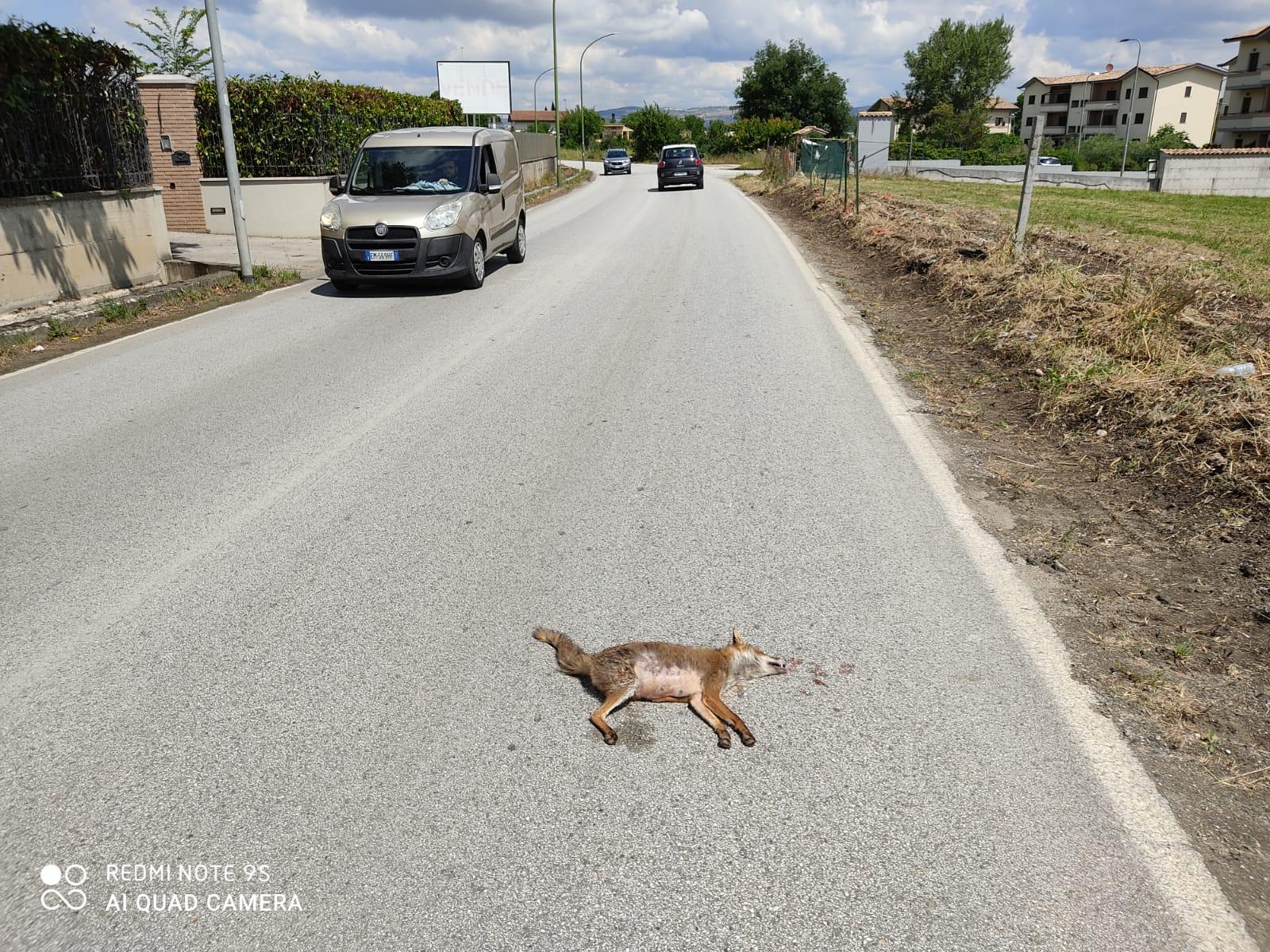 Benevento| Volpe investita, intervento tempestivo della Municipale
