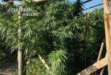 Grottaminarda| Lotta alla droga: i Carabinieri arrestano un 73enne per coltivazione e produzione di sostanze stupefacenti