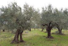 Covid,Coldiretti: e' giornata ulivi Unesco, 250 mln piante da salvare