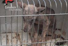 Montella  I carabinieri forestali trovano e soccorrono un cucciolo di lupo malato